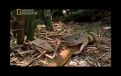 Kral Kobra Yılanı-Anlatımı